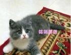 CFA猫舍出售纯种健康英短蓝白蓝猫银渐层保健康