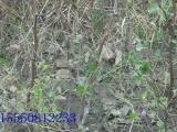 优质枣树苗,金丝4号枣苗,冬枣树苗