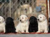 太原哪里有宠物狗出售太原哪里有拉布拉多出售太原拉布拉多多少钱