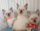 纯种暹罗猫小奶猫出售(六百元一只)