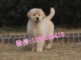 拉萨哪里有卖金毛 拉萨金毛多少钱 最便宜的狗狗价格多少