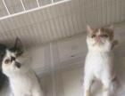 加菲猫小公1300 猫咪价格以标题价格为准
