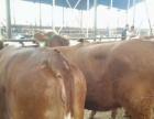 出售西门塔尔小牛犊 利木赞小牛犊价格