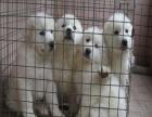 全国连锁双血统大白熊繁殖基地 本地可上门