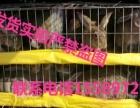 大型种兔养殖场出售杂交野兔种兔