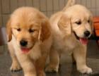 货到付款 可基地挑选 专业繁殖金毛犬签协议包