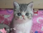 CFA双血统异国短毛猫加菲猫弟弟找新家
