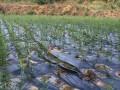 苗木销售 竹柳:防洪防旱,你需要它!