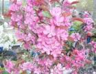 花盆里的苹果树