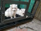 惠州银狐犬哪里有卖 纯种银狐犬多少钱 惠州银狐幼犬价钱多少