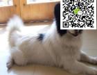 哪里有卖蝴蝶犬 蝴蝶犬多少钱 蝴蝶犬图片