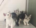 美国短毛猫家庭养的小猫价便宜出啦