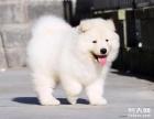 纯种健康 微笑天使萨摩耶幼犬火热出售中 质保终生