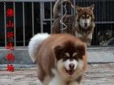 佛山犬舍 出售纯种阿拉斯加幼犬 大骨架阿拉斯加 做好疫苗驱虫