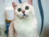 【微可猫舍】高品质银渐层折耳弟弟,大绿眼,无尾圈
