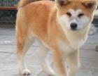 东莞哪里有卖秋田犬 纯种秋田犬 日本秋田犬