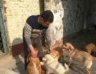 犬舍科学寄养狗狗,出售幼犬