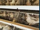 信阳海兰褐脱温鸡优点特点2021年海兰褐脱温鸡春季预定销售