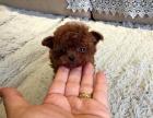 适合家庭饲养泰迪犬多少钱 要纯一点的