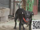 比特犬纯正健康出售-幼犬出售,当地可以上门挑选
