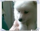 纯种血系银狐幼犬骨量超大超帅气不同品质不同价位可选