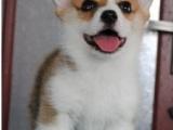 上海浦东新区哪里出售纯种柯基幼犬品质保证欢迎上门选购