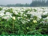 种植承雨油用凤丹牡丹种苗包回收