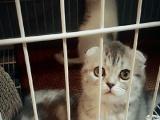 苏格兰折耳猫宝宝找新家