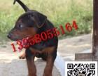 纯种两三个月的苏联红犬幼犬价格怎么卖 小苏联红犬出售