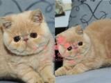 昆明哪里的加菲猫最便宜多少钱一只 昆明哪里有几百块钱加菲猫