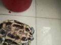 宠物乌龟出售