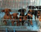 上海哪里有小鹿犬卖 上海小鹿犬多少钱小鹿犬幼犬视频