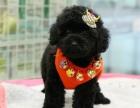 出售专业繁殖纯种泰迪幼犬纯种玩具.迷你 可上门