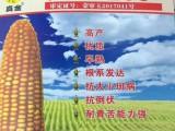 九三龙腾种业经销真金206玉米种子