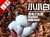 淘宝乳鼠:爬虫公告牌,人工手养干净小白鼠乳鼠,特价
