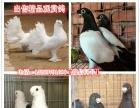 常年出售肉鸽品种美国落地王鸽、白羽王鸽、卡努鸽、球型鸽、
