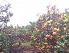 湖北秭归脐橙之乡 原汁原味 欢迎品尝 新年特价