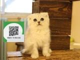 柳州哪里有折耳猫出售 柳州折耳猫价格 柳州宠物猫转让出售