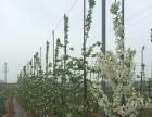 庆阳北国春苹果出售