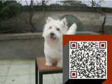 出售 西高地犬幼犬/西高地白梗/纯种健康保证/欢迎上