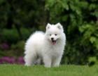 广州什么地方有纯种萨摩犬卖 广东扬帆犬舍