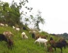 出售生态羊肉