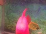 超大爆红35公分鹦鹉鱼出售也可换鱼