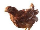 供应海兰褐鸡苗 海兰褐青年鸡