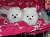 深圳养殖基地直销博美犬及其它品种 签协议 送用品