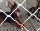精品莱州红幼犬出售,公母大小均有,欢迎来访选购