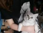 英短银渐层转卖送猫罐头和一只小孕猫或一只小黄猫