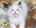 布偶蓝双,海双,山猫纹,品相超赞,本猫舍另有其他猫咪出售