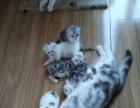 自家母猫生的美短加白小猫