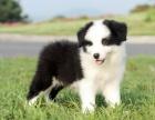 上海边境牧羊犬幼犬多少钱一只上海哪里有卖边牧 边境牧羊犬价格